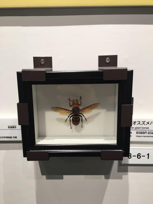 「オオスズメバチ」の写真