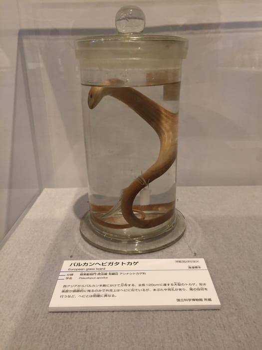 「バルカンヘビガタトカゲ」の写真