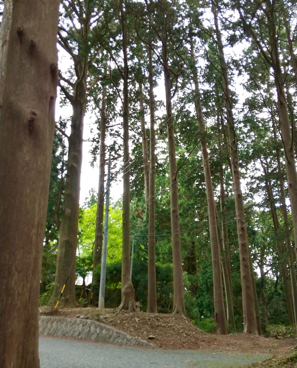 Shaso (社叢) giant tree of Sugi