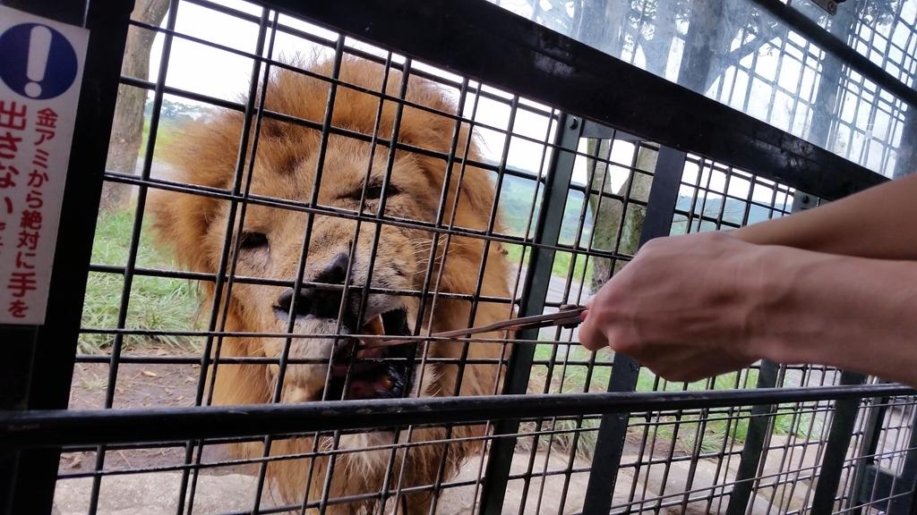 ジャングルバス ライオン 餌やり
