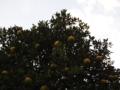 [果物]PB075203.JPG