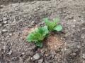 [植物][ジャガイモ]IMG_0030.JPG