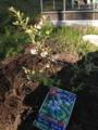 [植物][田舎][ブルーベリー]IMG_0034.JPG