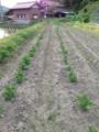 [植物][ジャガイモ]IMG_0045.JPG