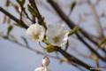 [北海道][花][桜]白桜