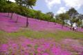 [北海道][花]「ももいろじゅうたん」 @滝上公園