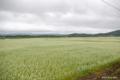 [北海道]蕎麦の平原 II
