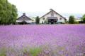 [北海道][富良野]紫の庭 @ファーム富田