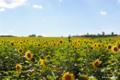 [北海道][花]「太陽の平原」
