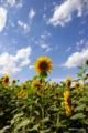 [北海道][花]「陽は高く昇りゆき」