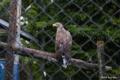 [北海道][鳥]保護中のオジロワシ