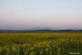 [北海道][大雪山][旭川]夕焼け背後の大雪山と季節外れの向日葵畑