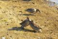 """[北海道][ウトナイ湖][鳥]""""どつきあい"""" @ウトナイ湖"""