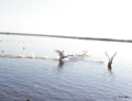 """[北海道][ウトナイ湖][鳥]""""飛翔"""" @ウトナイ湖"""