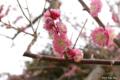 [北海道][花][桜][松前]