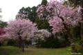 [北海道][花][桜][松前]桜三式