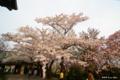 [北海道][花][桜][松前]城門の桜 I