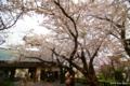 [北海道][花][桜][松前]城門の桜 II