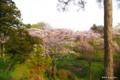 [北海道][花][桜][松前]夕陽紅注す桜の岡 I