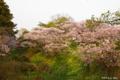 [北海道][花][桜][松前]夕陽紅注す桜の岡 II