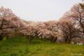 [北海道][花][桜][松前]夕陽紅注す桜の岡 III