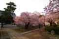 [北海道][花][桜][松前]血脈桜 I