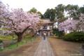[北海道][花][桜][松前]光善寺境内
