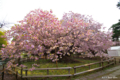 [北海道][花][桜][松前]血脈桜 II