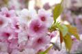 [北海道][花][桜][松前]血脈桜・近景