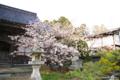 [北海道][花][桜][松前]龍雲院の蝦夷霞桜