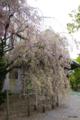 [北海道][函館][五稜郭][花]五稜郭の藤の花