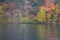 [北海道][大雪山][鳥]然別湖岸の紅葉 VI アイサ