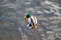 [北海道][大沼公園][鳥]カルガモのオス・羽毛のお手入れ中