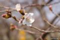 [北海道][松前][花][桜]冬桜 I