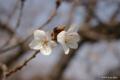 [北海道][松前][花][桜]冬桜 II