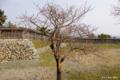 [北海道][松前]冬桜 全容