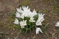 [北海道][松前][花]水仙・桜の袂に咲く