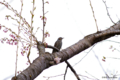[北海道][鳥]ヒヨドリ @森町・オニウシ公園