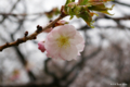 [北海道][松前][花][桜]松前の桜 南殿 近景