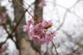 [北海道][松前][花][桜]松前の桜 枝垂桜 近景