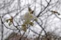 [北海道][松前][花][桜]松前の桜 翁桜 近景
