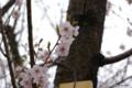 [北海道][松前][花][桜]松前の桜 江戸彼岸 近景