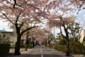 [北海道][函館][花][桜]桜ヶ丘通り I