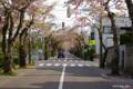[北海道][函館][花][桜]桜ヶ丘通り II