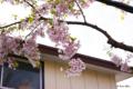 [北海道][函館][花][桜]桜ヶ丘通り ソメイヨシノ近景