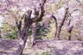 [北海道][函館][花][桜][五稜郭]「秒速5cm」 I