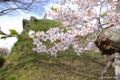 [北海道][函館][花][桜][五稜郭]五稜郭の桜 IV ソメイヨシノ近景