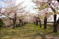 [北海道][函館][花][桜][五稜郭]五稜郭の桜 VII