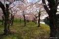 [北海道][函館][花][桜][五稜郭]五稜郭の桜 VIII