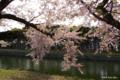 [北海道][函館][花][桜][五稜郭]五稜郭の桜 IX 春の木漏れ日の中で